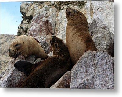 Fur Seals On The Ballestas Islands, Peru Metal Print by Aidan Moran