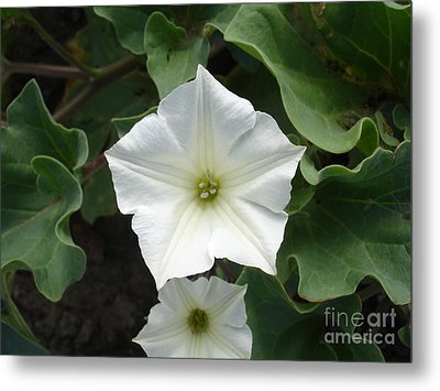 Galapagos Flower Metal Print by Chad Natti