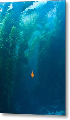Garibaldi Fish In Giant Kelp Underwater Metal Print by James Forte
