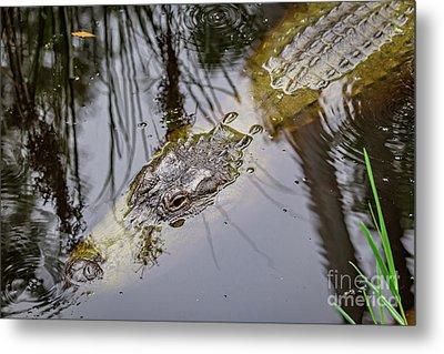 Gator In The Bayou Metal Print