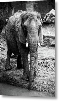 Metal Print featuring the photograph Gentle One by Karol Livote