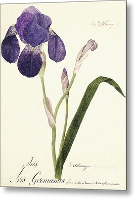 German Iris Metal Print