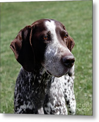 German Shorthaired Pointer  Metal Print by Steven Digman