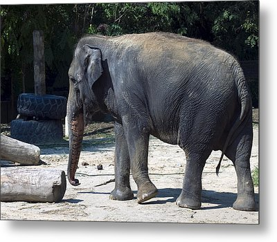 Giant Asian Elephant Metal Print by Brendan Reals