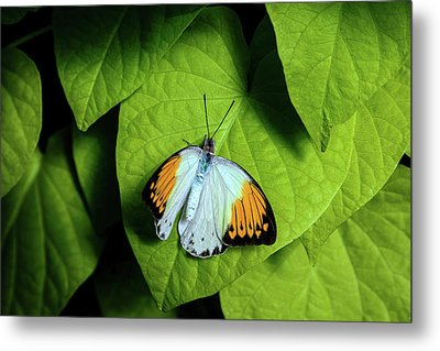 Giant Orange Tip Butterfly Metal Print