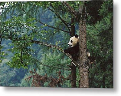 Giant Panda Ailuropoda Melanoleuca Metal Print by Cyril Ruoso