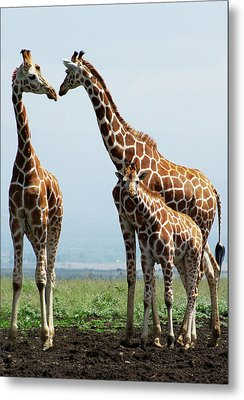Giraffe Family Metal Print by Sallyrango