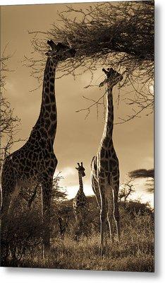 Giraffe Stretch Their Necks To Reach Metal Print by Ralph Lee Hopkins