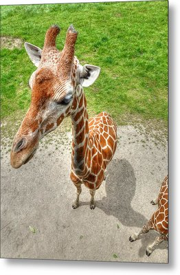 Giraffe's Point Of View Metal Print by Michael Garyet