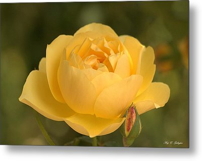Golden Breath Metal Print by Amy Gallagher