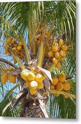 Golden Coconuts Key West Metal Print