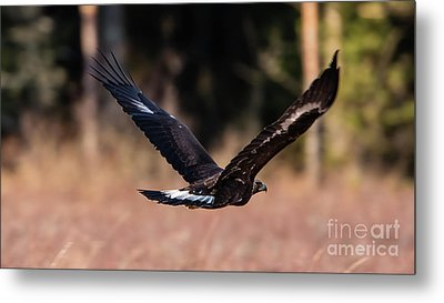 Golden Eagle Flying Metal Print by Torbjorn Swenelius