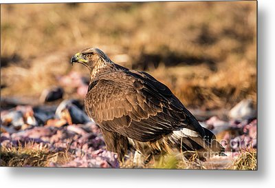 Metal Print featuring the photograph Golden Eagle's Back by Torbjorn Swenelius