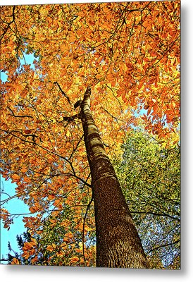 Golden Hickory Metal Print