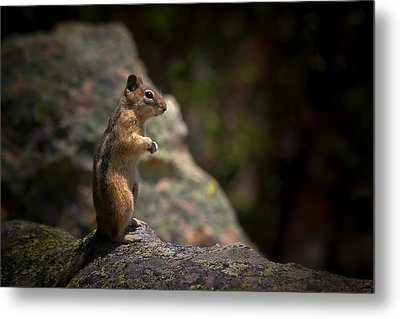 Golden Mantled Ground Squirrel Rocky Mountains Colorado Metal Print by Christine Till