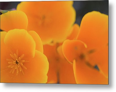 Metal Print featuring the photograph Golden Poppies by Roger Mullenhour