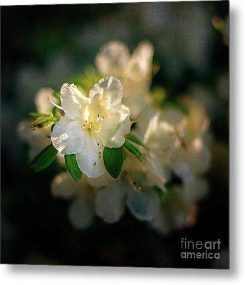 Golden White Azaleas Metal Print