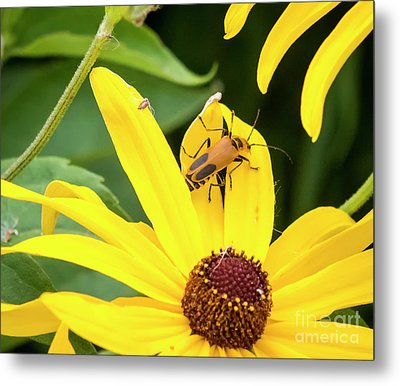 Metal Print featuring the photograph Goldenrod Soldier Beetle by Ricky L Jones