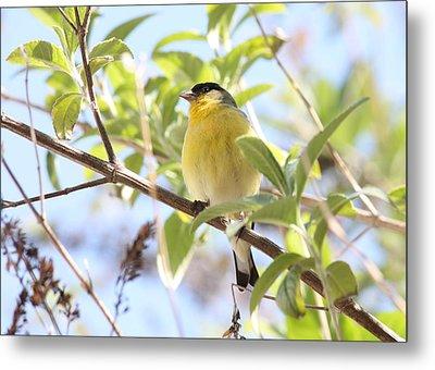 Goldfinch In Spring Tree Metal Print by Carol Groenen