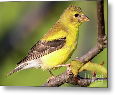 Metal Print featuring the photograph Goldfinch In The Early Morning  by Ricky L Jones