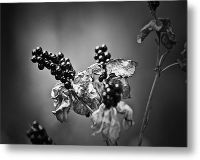 Gone To Seed Blackberry Lily Metal Print by Teresa Mucha