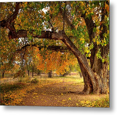 Grandfather Cottonwood Metal Print by Tim Reaves