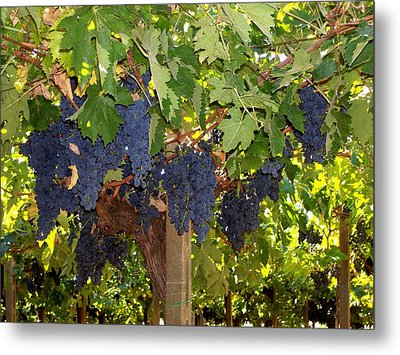 Grapes Are Ready Metal Print by Judy Kirouac