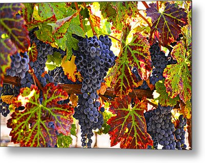 Grapes On Vine In Vineyards Metal Print