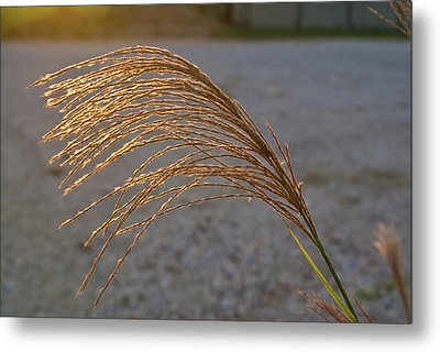 Grassflowers In The Setting Sun Metal Print by Douglas Barnett