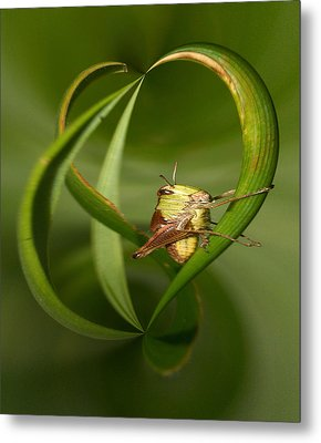 Metal Print featuring the photograph Grasshopper by Jouko Lehto