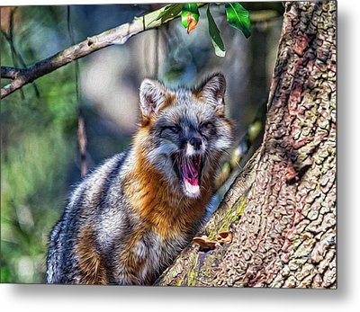 Gray Fox Awakens In The Tree Metal Print