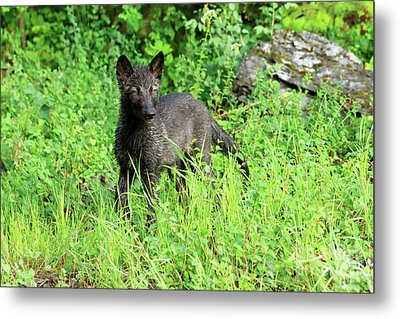 Gray Wolf Pup Metal Print by Louise Heusinkveld