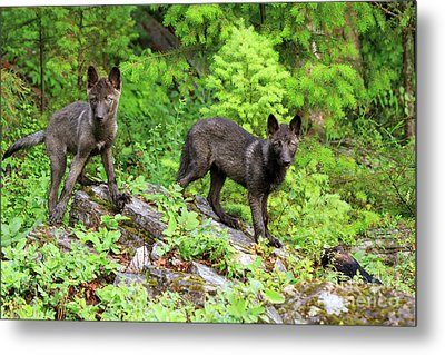 Gray Wolf Pups Metal Print by Louise Heusinkveld
