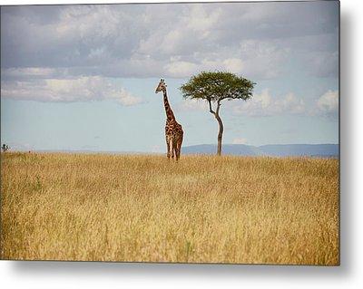 Grazing Giraffe Metal Print