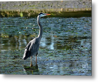 Great Blue Heron Catching The Light Metal Print