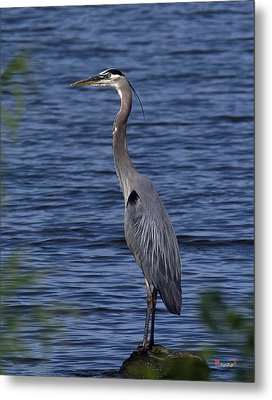 Great Blue Heron Dmsb0001 Metal Print by Gerry Gantt