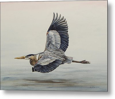 Great Blue Heron Flying Metal Print by Laurie Tietjen