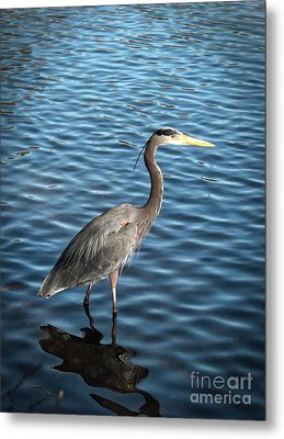 Great Blue Heron In Light Metal Print by Carol Groenen