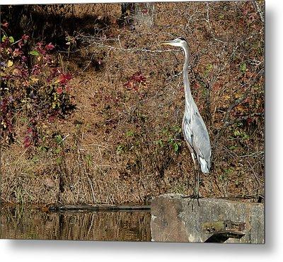 Great Blue Heron Standing Tall Metal Print by George Randy Bass