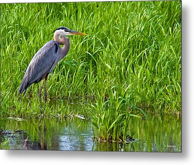 Great Blue Heron Waiting Metal Print by Edward Peterson