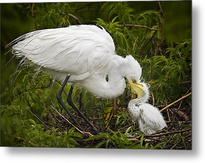 Great Egret And Chick Metal Print
