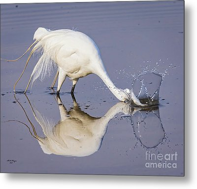 Great Egret Dipping For Food Metal Print