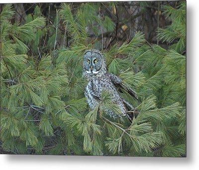 Great Gray Owl In Pine Tree Metal Print by John Burk