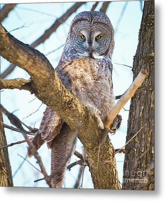 Great Gray Owl Metal Print by Ricky L Jones