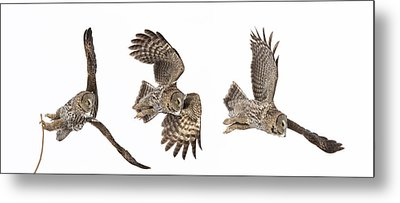 Metal Print featuring the photograph Great Grey Owl Hunting by Mircea Costina Photography