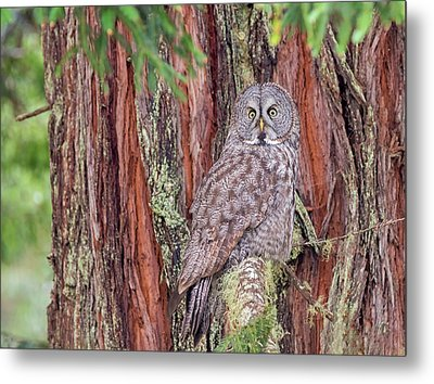 Great Grey Owl In A Giant Redwood Metal Print