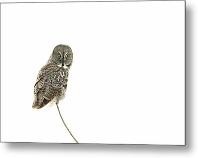Metal Print featuring the photograph Great Grey Owl On White by Mircea Costina Photography