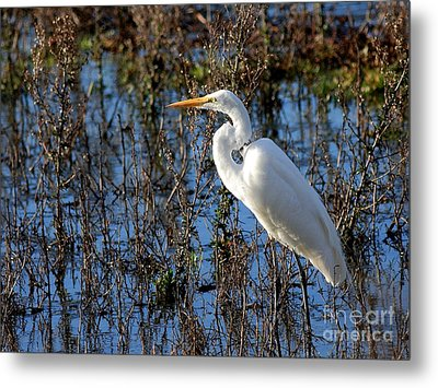 Great White Egret Metal Print by Wingsdomain Art and Photography