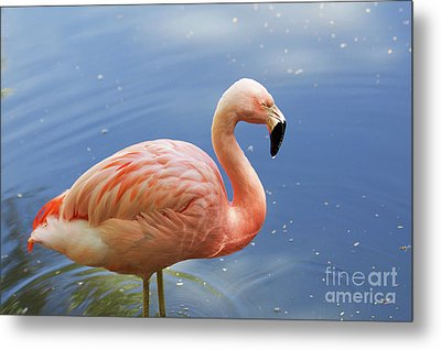 Greater Flamingo Metal Print by Afrodita Ellerman