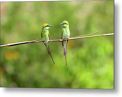 Green Bee Eater Couple Metal Print by Munish Kaushik Photography